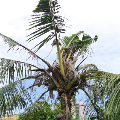 Palm damaged by Oryctes rhinoceros