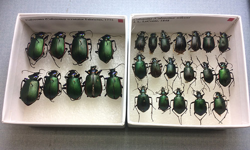fiery searcher, Calosoma scrutator