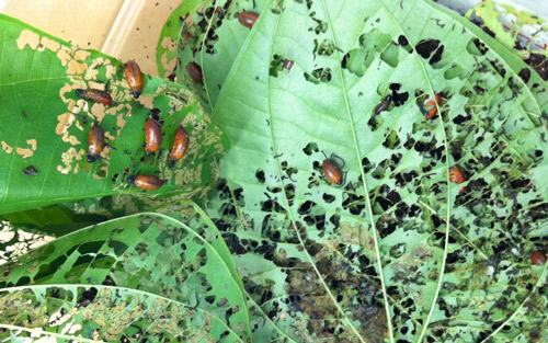 An aggregation of late instar Lilioceris cheni (Air Potato Leaf Beetles) larvae skeletonizing air potato leaves. Photograph by Elizabeth D. Mattison, USDA/ARS Invasive Plant Research Laboratory, Fort Lauderdale, FL.