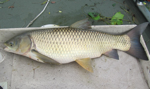Grass carp the white amur ctenopharyngodon idella cuvier for Can you eat carp fish