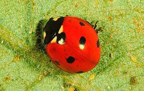 Excited too asian lady beetle food