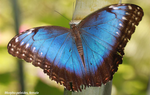 Blue Morph Butterfly Whistle
