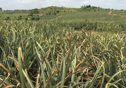 A Pineapple Field In Ghana With Several Plants Showing Symptoms Of Mealybug Wilt Associated