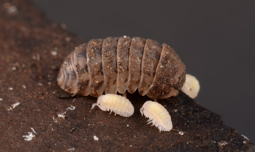 sow bugs and their preference of The immune cellular effectors of terrestrial isopod armadillidium vulgare: meeting with their  pill bugs have five  it shows a distinct preference for chalky.