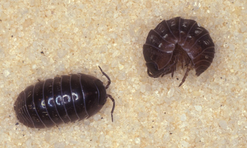 pillbugs and their preferred habitat conditions Students may develop their own investigations after reading some of the papers   terrestrial isopods have some requirements left over from their aquatic,.