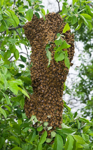 A Reproductive Swarm Of European Honey Bees Apis Mellifera Linnaeus Coalesced On A Tree