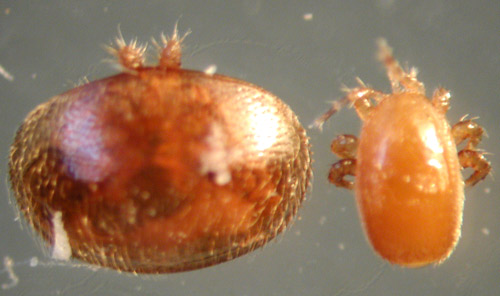Varroa on the left, compared with Tropilaelaps on the right.