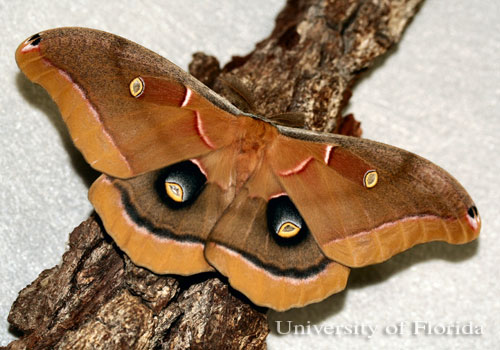 Adult male polyphemus moth