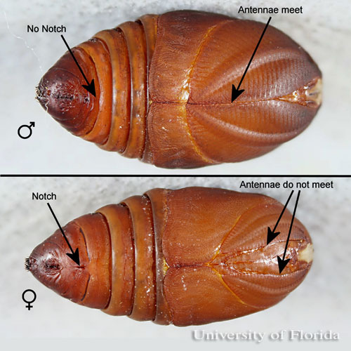 male and female pupae