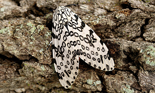 Giant Woolly Bear Great Leopard Moth Hypercompe Scribonia Stoll