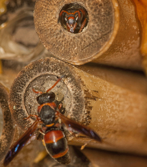 A pollinator nesting box containing hollow bamboo reeds being visited by two Pachodynerus erynnis (Lepeletier) adults