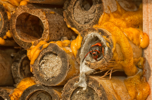 A pollinator nesting box with cavities at various stages of Pachodynerus erynnis (Lepeletier)