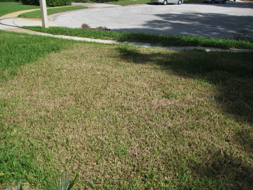 St Augustinegr Residential Lawn Damaged By Tropical Sod Webworm