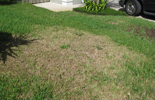 Tropical Sod Webworm Damage To St Augustinegr Lawn
