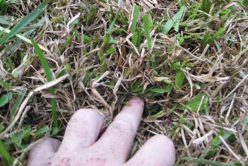Close Up Of Tropical Sod Webworm Feeding Damage