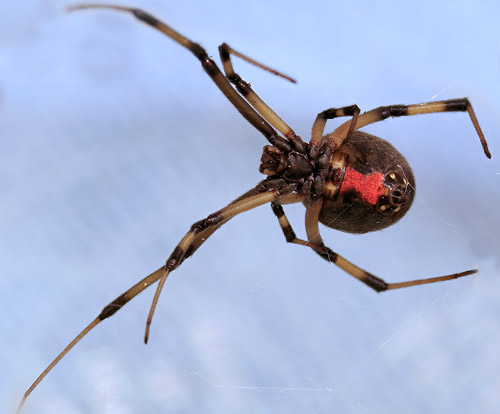 Brown Black Widow Brown widow spider - L...