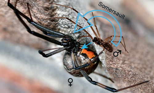 how to tell the difference between male and female spiders