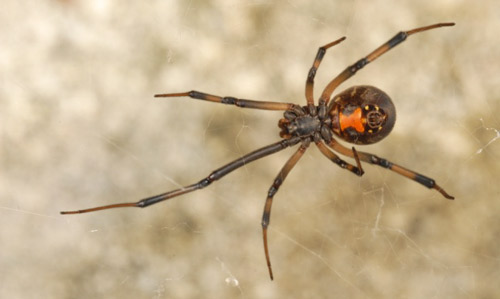 Brown Black Widow Southern black widow