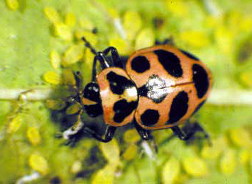 For predators of the asian lady beetle much the