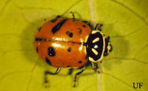 Predators of the asian lady beetle site theme