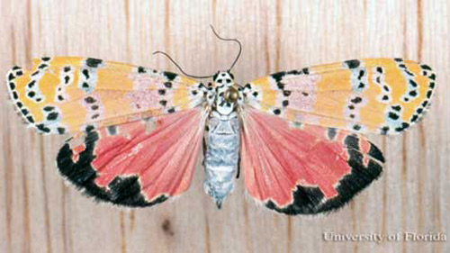 ornate bella moth - Utetheisa ornatrix