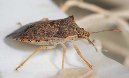 Front lateral view of a spined soldier bug, Podisus maculiventris (Say).