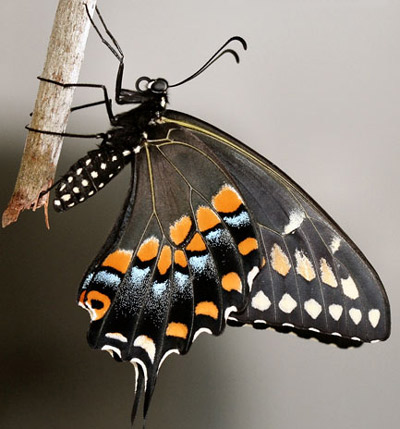 Adult female eastern black swallowtail, Papilio polyxenes asterius (Stoll), with wings closed.