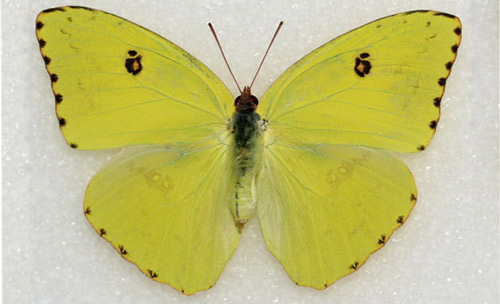 EduPic Butterflies and Moths Page Three |Clouded Sulphur Butterfly