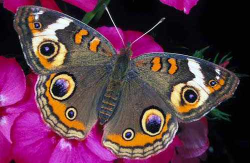 Image result for buckeye butterfly