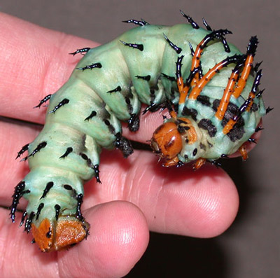 Hickory horned devil caterpillar, of the regal moth, Citheronia regalis (Fabricius), showing size in relation to an adult human