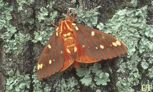 Adult regal moth, Citheronia regalis (Fabricius).