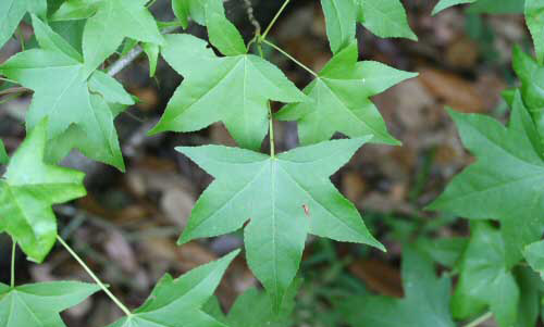 Sweetgum, Liquidambar styraciflua L., a host of the regal moth, Citheronia regalis (Fabricius).