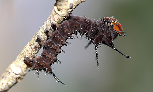 Imperial moth, Eacles imperialis (Drury), second instar larva.