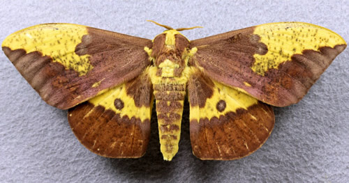 Imperial moth, Eacles imperialis (Drury), adult male collected July 7, 2001 at Branford (Suwanee Co.),