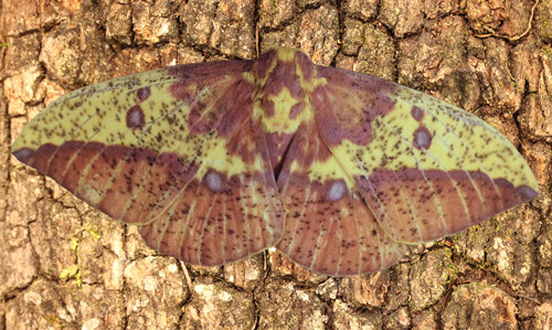 Imperial moth, Eacles imperialis (Drury), adult female collected May 29, 2014 at Micanopy (Alachua Co.), Florida.