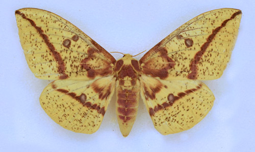 Imperial moth, Eacles imperialis (Drury), adult female collected September 2, 2014 at Micanopy (Alachua Co.), Florida.