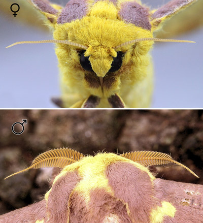 Imperial moth, Eacles imperialis (Drury), female (top) and male (bottom) antennae.