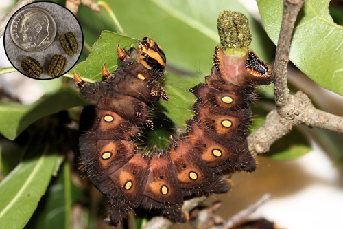 Imperial moth, Eacles imperialis (Drury), fifth instar larva defecating and fecal pellets (inset).