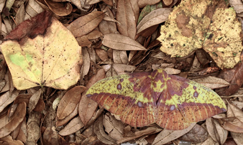 Imperial moth, Eacles imperialis (Drury), image of adult digitally pasted into photo with dead redbud, Cercis canadensis Linnaeus, and muscadine grape, Vitis rotundifolia Michaux, leaves.