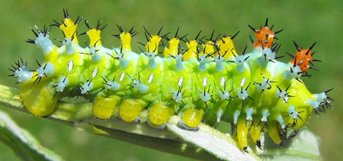 Raising Giant Silk Moths: 15 Steps (with Pictures) - Instructables Cecropia moth larvae photos