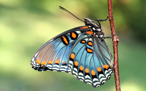 white admiral butterfly facts