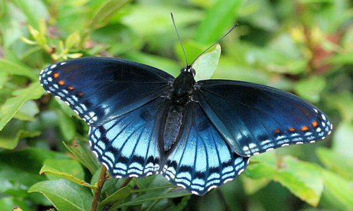 red-spotted purple - Limenitis (Basilarchia) arthemis astyanax