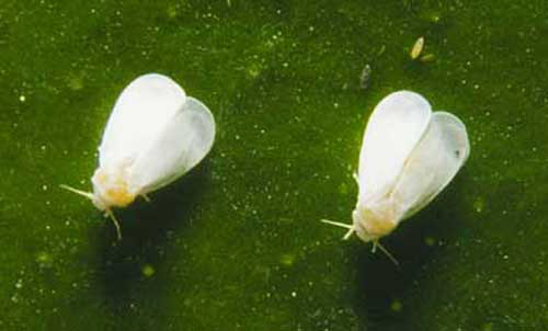 Can Adult whitefly control what phrase