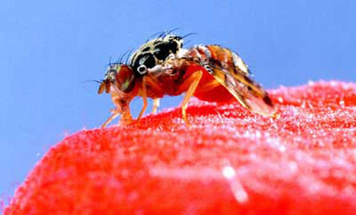 Fruit Fly Introduction