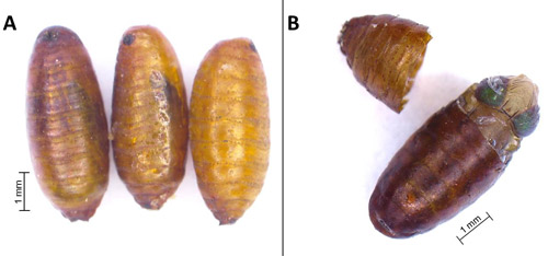 Fruit Fly Pupae