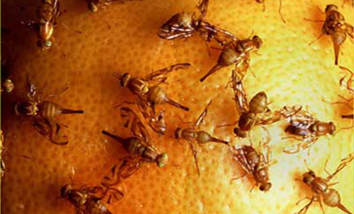 fruit fly eggs are tomatoes fruits or vegetables