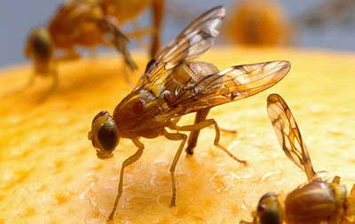 lifespan of a fruit fly are tomatoes a fruit or vegetable
