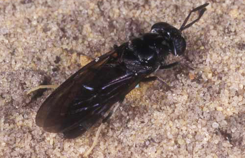 Flying Insects with Stingers http://entnemdept.ufl.edu/creatures/livestock/black_soldier_fly.htm
