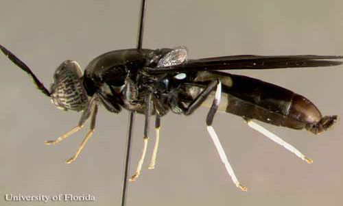 A photo of Black Soldier Fly