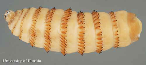 head on left  of the third instar larva of the common horse bot fly    Horse Bot Fly Larvae